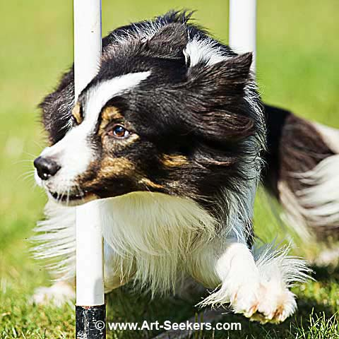 Dog agility show, Photography by www.art-seekers.com